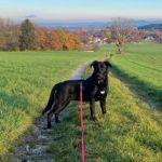 Ginny Labrador Schäferhund